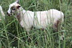 Finnsheep-ram-lamb-Brown-Badger-2105-