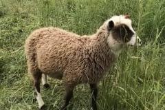 Finnsheep-ram-lamb-Cupid-2101-3