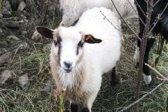 Finnsheep-ram-lamb-fawn-badger-2106