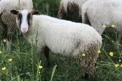 Finnsheep-ram-lamb-Brown-Badger-2102-