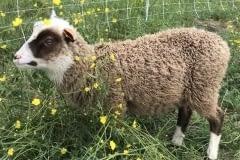 Finnsheep-ram-lamb-Cupid-2101-2