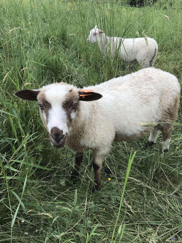 Finnsheep ram lamb 2105