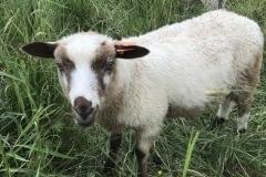 Finnsheep-ram-lamb-Brown-Badger-2105-2