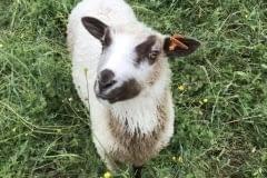 Finnsheep-ram-lamb-Fawn-Badger-2103