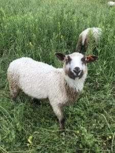 Finnsheep ram lamb 2103