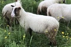 Finnsheep-ram-lamb-Brown-Badger-2102-3