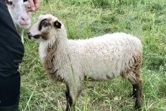 Finnsheep-ram-lamb-fawn-badger-2106-4
