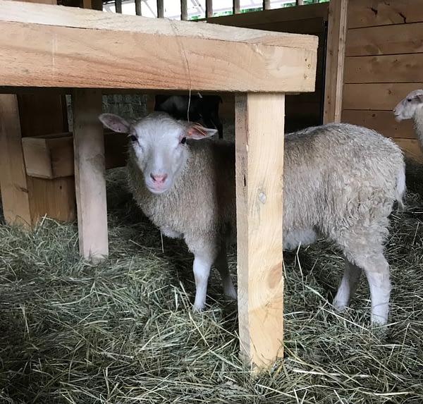 Finnsheep ewe lamb for sale 2109