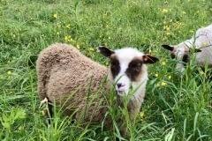 Finnsheep-ram-lamb-Cupid-2101