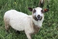 Finnsheep-ram-lamb-Fawn-Badger-2103-2