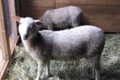Finnsheep-ewe-lamb-white-2107-2