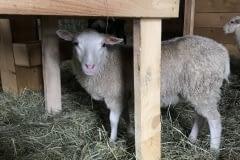 Finnsheep-ewe-lamb-white-2109-2