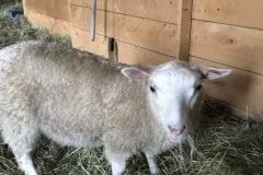 Finnsheep-ewe-lamb-white-2109-3